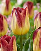 Tulipa 'Disaronno'