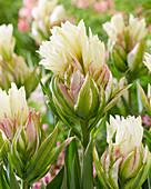 Tulipa 'Mystery Valley'