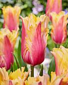 Tulipa 'Flaming Memory'