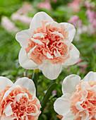 Narcissus 'Birgit'