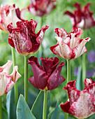Tulipa 'Striped Crown'