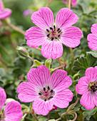 Geranium cinereum 'Jolly Jewel Hot Pink'