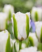 Tulipa 'Green Glow'
