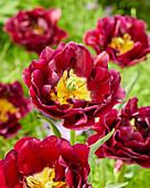 Gefüllte, rote Tulpe