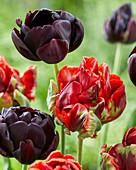 Tulipa 'Rococo Double', 'Black Hero'