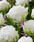 Tulipa 'Snow Crystal'