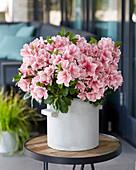 Rhododendron 'Encore' ® 'Sunburst'
