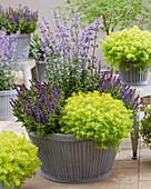 Sedum reflexum 'Sunsparkler' ® 'Angelinas Teacup', Salvia nemorosa, Nepeta
