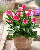 Zantedeschia 'Captain Cheerio'