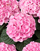 Hydrangea macrophylla 'Elizabeth Ashley Pink'