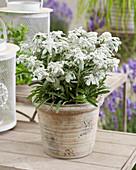 Leontopodium alpinum 'Silvery Frost'