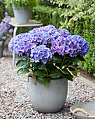 Hydrangea Multi-Double by Magical ® 'Purple Blue Fiction'