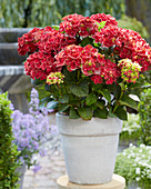 Hydrangea Multi-Double by Magical ® 'Red Red Wine'