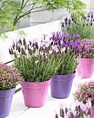 Lavandula stoechas subsp. lusitanica 'Lusi Pink' 'Lusi Purple'