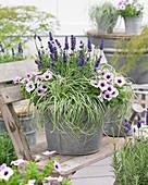 Carex 'EverColor' ® 'Everlite', Lavandula, Petunia