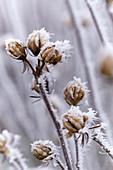 Gefrorene Samenstände von Hibiscus syriacus 'Lavender Chiffon'