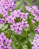 Verbena 'Seabrooks Lavender'