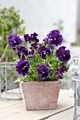 Tasty Viola F1 'Purple Shades'