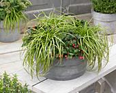 Carex 'EverColor' ® 'Eversheen' und Gaultheria procumbens