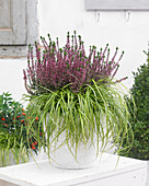 Carex 'EverColor' ® 'Eversheen' und Calluna vulgaris Gardengirls
