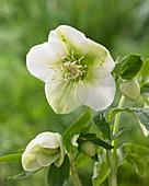 Helleborus 'King' ® 'White'