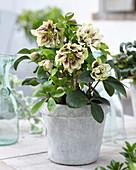 Helleborus orientalis 'Double Ellen' ® 'Yellow'
