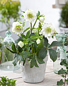 Helleborus orientalis 'Double Ellen' ® 'White'