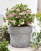 Helleborus orientalis 'Double Ellen' ® 'Pink'