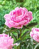 Paeonia 'Pink Jazz'