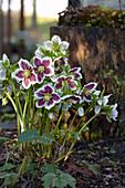 Helleborus orientalis 'Harvington White Speckled'