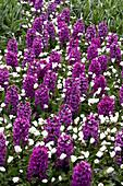 Hyacinthus 'Miss Saigon', Anemone blanda 'White Splendour'