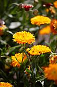 Calendula 'Winter Creepers Oranges & Ice'