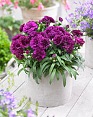 Dianthus 'Paseo' ®