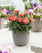 Dianthus 'Princess' ®