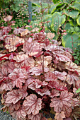 Heuchera 'Frosted Flame'