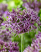 Allium 'Metallic Shine'