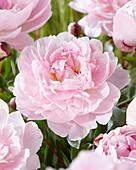 Paeonia 'Reine Hortense'