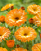 Calendula 'Winter Wonders Amber Arctic'