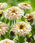 Calendula 'Winter Creepers Blond & Brisk'