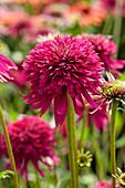 Echinacea 'Purple Lady'