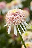 Echinacea 'C-3'