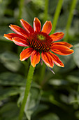 Echinacea 'Sombrero Flamenco Orange'