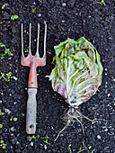 Garden fork and lettuce