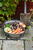 Freshly harvested root vegetables in a metal washing bowl