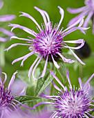 Centaurea Censation™ 'Purple Spider'