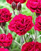 Dianthus caryophyllus 'Odessa Red' ®