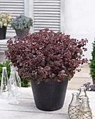 Sedum SunSparkler ® 'Firecracker'