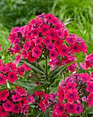 Phlox paniculata Twinkle 'Pink/Red 28-01'