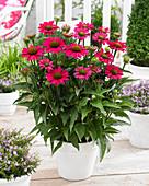 Echinacea purpurea SunSeekers 'Magenta'