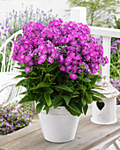 Phlox paniculata Famous Light Purple 116-01